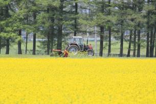 菜の花畑とトラクターの写真素材 [FYI00400028]