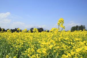 菜の花畑と岩手山の写真素材 [FYI00400035]