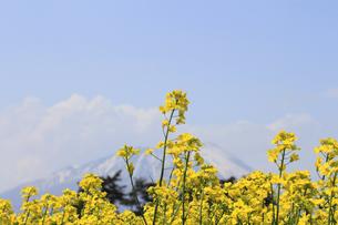 菜の花畑と岩手山の写真素材 [FYI00400048]