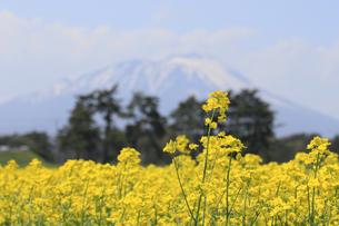 菜の花畑と岩手山の写真素材 [FYI00400055]