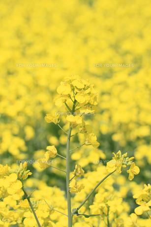 菜の花畑の素材 [FYI00400059]