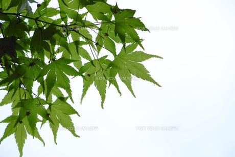 新緑の葉っぱの写真素材 [FYI00400101]
