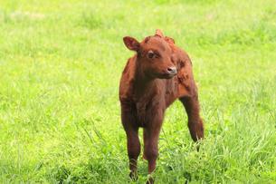 子牛の写真素材 [FYI00400105]