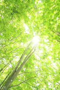 新緑のブナ林の写真素材 [FYI00400124]