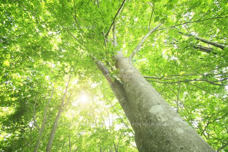 新緑のブナ林の写真素材 [FYI00400126]