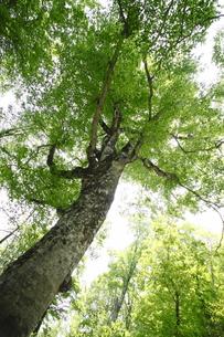 白神山地のマザーツリーの写真素材 [FYI00400129]