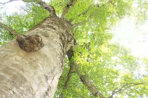 白神山地のマザーツリーの写真素材 [FYI00400144]