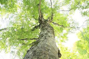 白神山地のマザーツリーの写真素材 [FYI00400156]