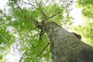 白神山地のマザーツリーの写真素材 [FYI00400157]