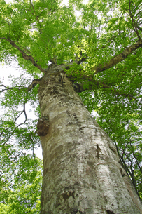 白神山地のマザーツリーの写真素材 [FYI00400161]
