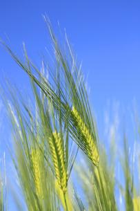 青空と小麦の素材 [FYI00400174]