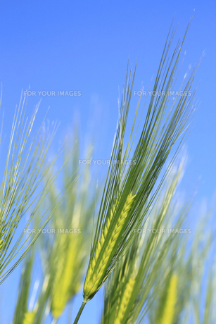 青空と小麦の素材 [FYI00400193]