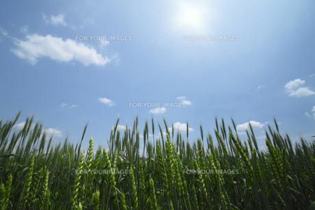 青空と小麦畑の素材 [FYI00400232]