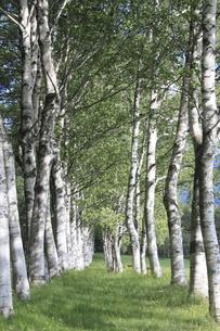 八幡平の白樺の木の素材 [FYI00400282]