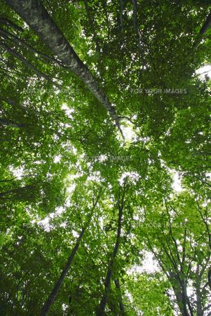 安比高原のブナ林の素材 [FYI00400287]