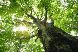 安比高原のブナ林の素材 [FYI00400299]