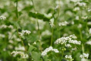 そばの花の写真素材 [FYI00400624]