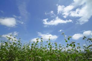 そばの花の写真素材 [FYI00400631]