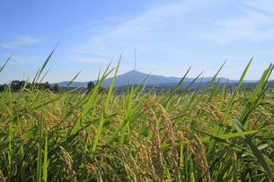 秋の姫神山と稲穂の写真素材 [FYI00400694]