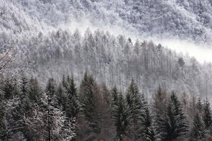 霧氷に覆われる針葉樹林の写真素材 [FYI00403698]