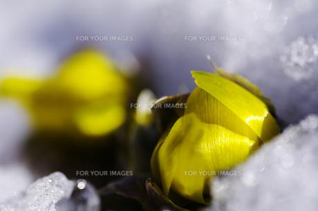 雪の中から顔を出す福寿草の蕾の写真素材 [FYI00403703]
