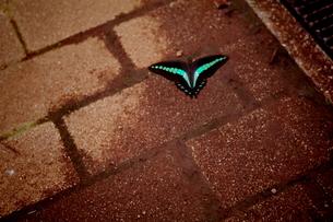 蝶の写真素材 [FYI00404160]
