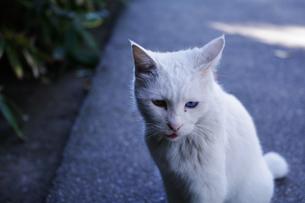 白猫の写真素材 [FYI00404254]