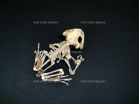 カエルの骨の写真素材 [FYI00404269]
