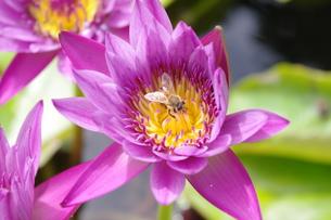睡蓮とミツバチの写真素材 [FYI00404300]