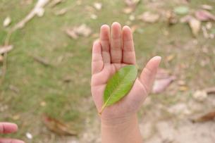 葉を持つ手の写真素材 [FYI00404344]