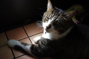 猫の写真素材 [FYI00404365]