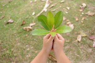 葉を持つ手の写真素材 [FYI00404368]