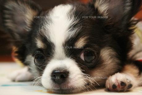 子犬の写真素材 [FYI00404484]