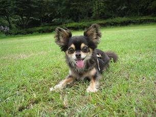 芝生で遊ぶ犬の素材 [FYI00404493]