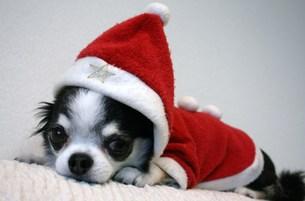 サンタクロースの服を着た犬の写真素材 [FYI00404497]