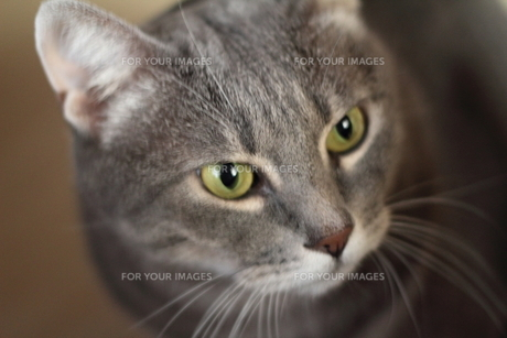 サバトラ猫 レッカの写真素材 [FYI00404577]