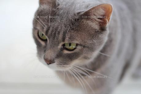 サバトラ猫 レッカの写真素材 [FYI00404583]