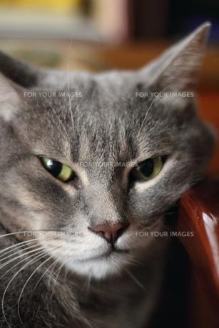 サバトラ猫 レッカの写真素材 [FYI00404591]