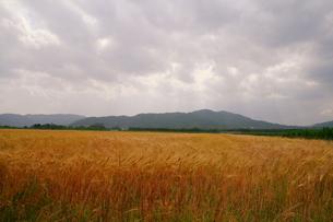 麦畑 遠景の写真素材 [FYI00404608]