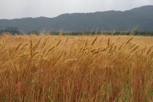 麦畑の写真素材 [FYI00404611]