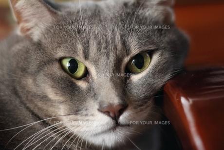 サバトラ猫 レッカの写真素材 [FYI00404614]