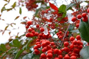 冬の赤い実の写真素材 [FYI00404617]