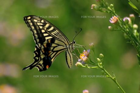 秋の花とナミアゲハの素材 [FYI00404659]