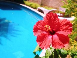 プールに咲いたハイビスカスの写真素材 [FYI00404699]