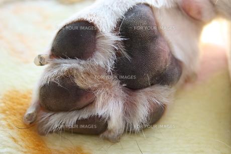 ビーグル犬の足裏の写真素材 [FYI00404716]