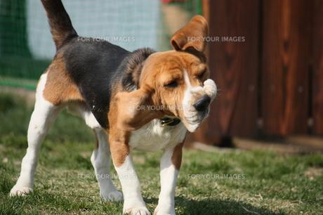 ブルブルするビーグル犬の写真素材 [FYI00404726]