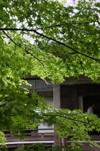 緑のもみじの素材 [FYI00404733]