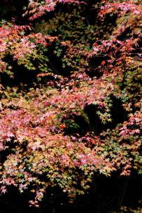 鮮やかな紅葉の素材 [FYI00404745]