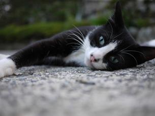 寝転がる猫の写真素材 [FYI00404756]
