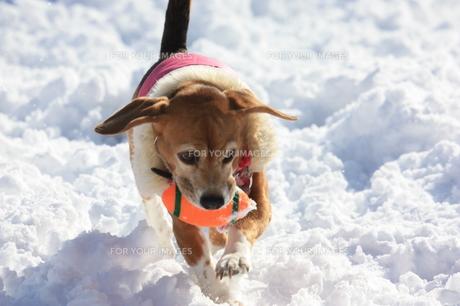 雪上を駆け回りボールで遊ぶビーグル犬の素材 [FYI00404763]